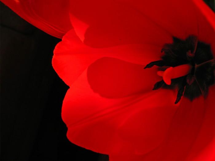 2006-02-15_IMG_4521-1_red-tulip
