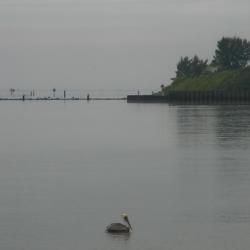 Brown pelican at Apollo Beach, FL