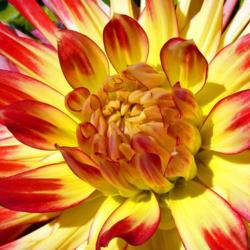 Red and Yellow Dahlia