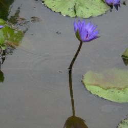 Purple water lily flowers