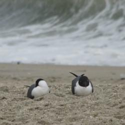 Black-headed Gulls at Point Pleasant, NJ