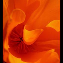 Orange California poppy macro