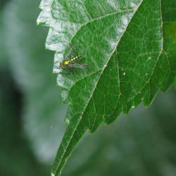 Tiny iridescent fly on blackberry leaf